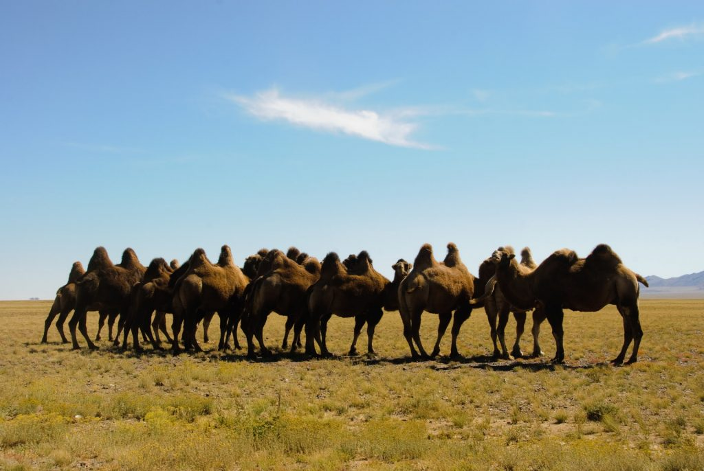 גמלים בערבות מונגוליה