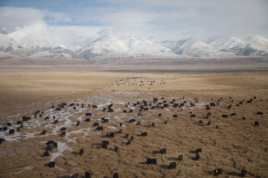 יאקים רועים בשדות טיבט